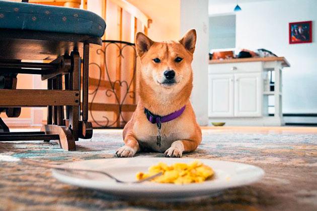 Необходимо правильно составить рацион питания для сиба-ину, так как эти собаки склонны к ожирению