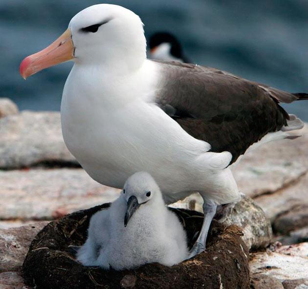 Самцы альбатросов выбирают самку для спаривания несколько лет