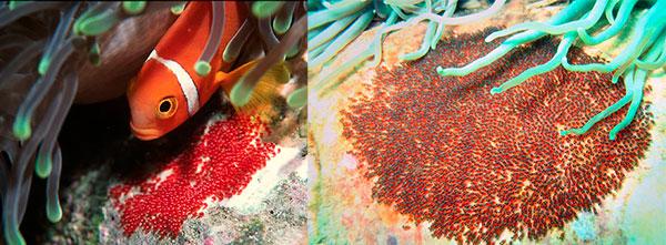 Место для метания икры рыба-клоун выбирает, в основном, искусственные гроты или кораллы