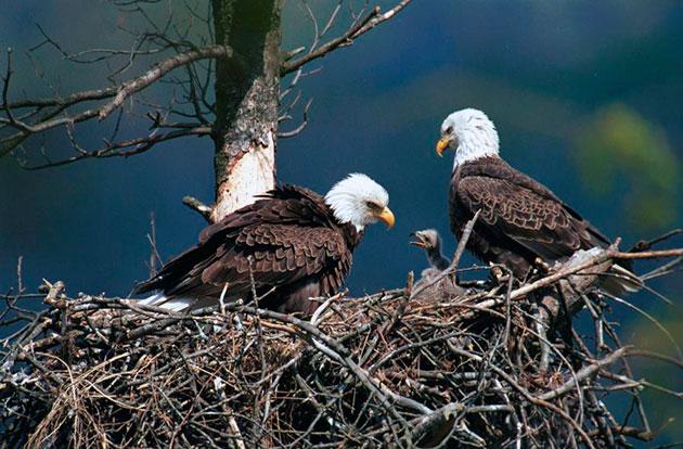 Белоголовые орланы высиживают яйца 35 дней, в основном этим занимается самка