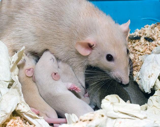 Крысят нельзя трогать руками, пока их кормит самка