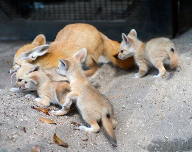 После спаривания самка и самец карликовой лисы становятся семейной ячейкой, так как лисы фенек моногамным