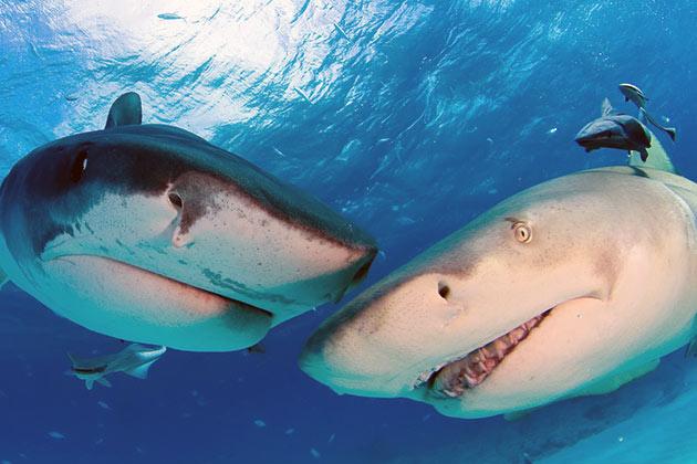 Молодняк тигровой акулы спасает от гибели то, что перед родами и первое время после них у самок пропадает аппетит