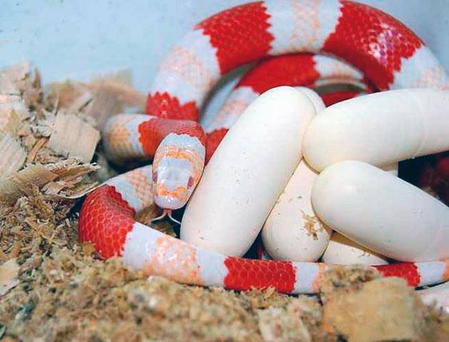 При разведение королевских змей в домашних условиях в основном не возникает никаких сложностей