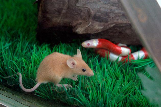 Разцион питания королевской змеи в основном состоит из грызунов, таких как мыши песчанки, джунгарики