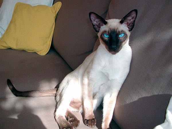 Сиамская кошка не переносит одиночество, если вы долго отсутствовали вам придется заново заслужить уважение вашего питомца