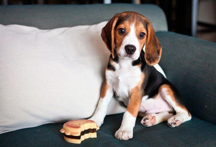Содержать бигля в доме или в квартире несложно, так как собаки эти неприхотливы в плане питания и ухода