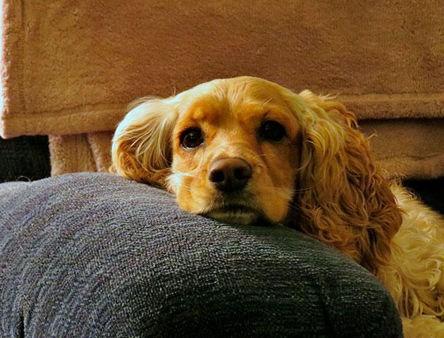 Коккер-спаниел является умной, веселой и общительной собакой