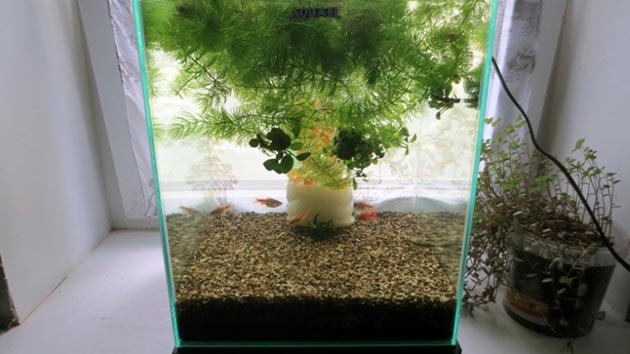 Вишневого барбуса берут даже начинающие аквариумисты, так как содержать этих рыбок не составит никаких хлопот