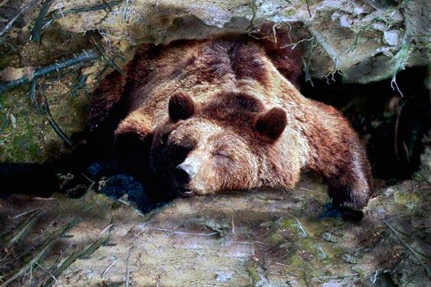 Сон бурого медведя отличается зимней спячки, он более чуток и медведь не впадает в оцепенение