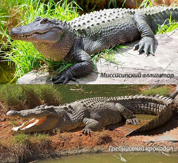 Особи отряда крокодилов растут всю жизнь и как правило их половое созревание зависит от их размеров