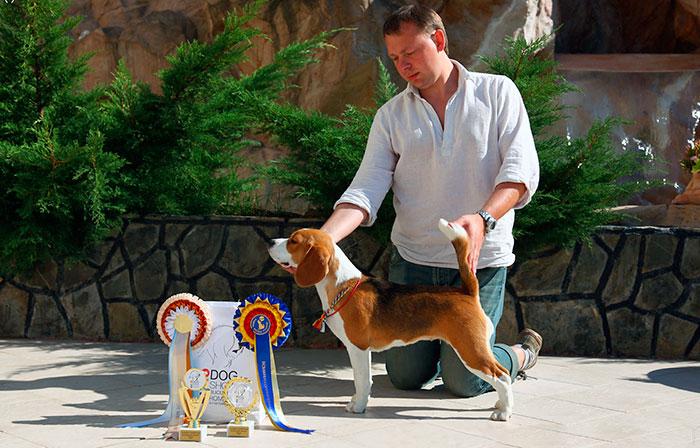 Бигль - собака средних размеров, имеющий сходство с фоксхаундом, вес взрослых собак достигает 8-18 кг