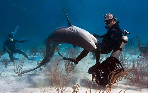 Тигровая акула представляет большую опасность для человека и с каждым годом нападения на человека возрастают