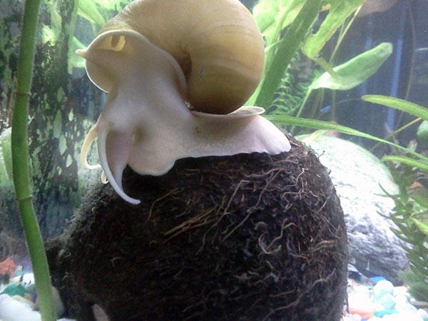 Брюхоногие моллюски могут находиться в воде, температура которой составляет 15-35, но оптимальной будет температура 22-24