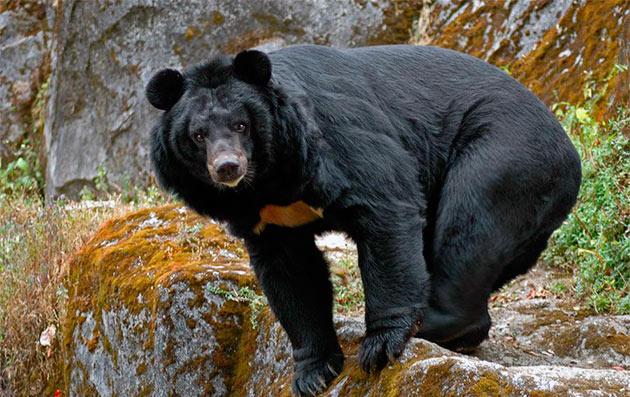 Уссурийский или Амурский бурый медведь