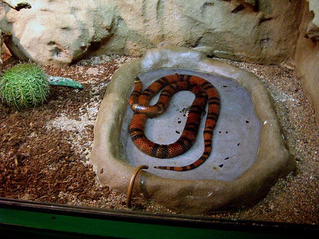 Террариум для синалойской королевской змеи (lampropeltis triangulum sinaloae)