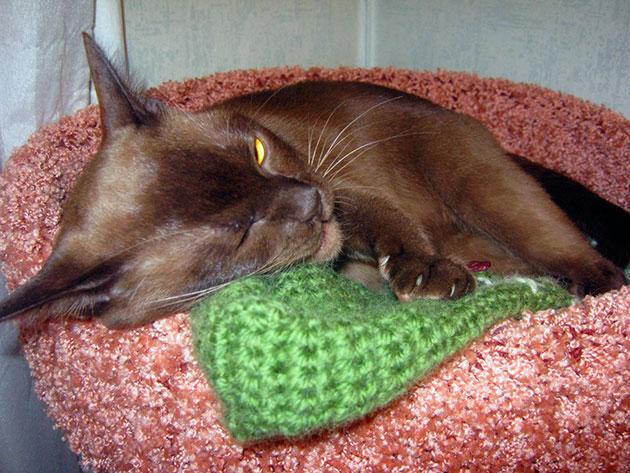 В уходе за бурмой вы не будете испытывать проблем - это достаточно неприхотливая порода кошки
