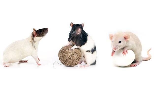 Декоративные крысы бывают различных окрасок и иметь густую шерсть или быть бесшерстной