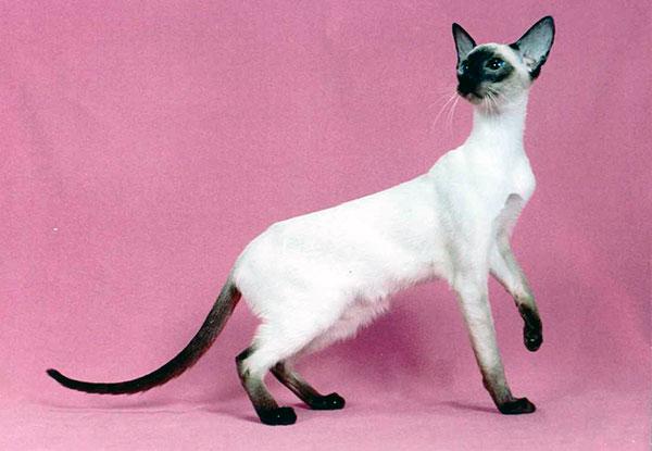 Утонченное грациозное тело, в купе с достаточной большой головой - главные признаки сиамской кошки