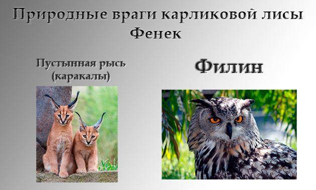 Ученые считают, что природными врагами карликовой лисы являются филин и пустынная рысь