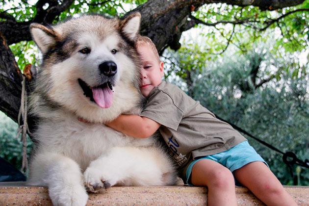 Маламут, как может показаться - грозная, но на самом деле это очень добрая и ласковая собака