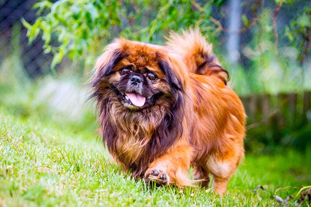 Пекинес очень внимательная собака, она не станет приставать к хозяину когда хозяин не в настроение и наоборот