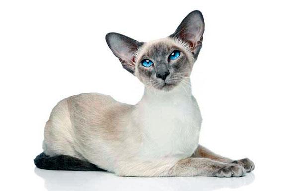 По стандартам породы самцы сиамских кошек, как правило больше самок
