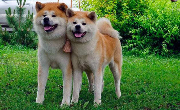 Собаки сиба-ину очень независимы - это стоит учесть при дрессировки и воспитание будущего питомца
