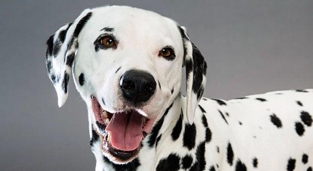 Далматин - семейная собака, она любит детей, но в тоже время очень гордая, поэтому обижать её не рекомендуется