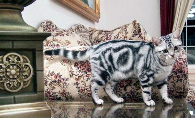 Породы кошек: Американская короткошёрстная кошка