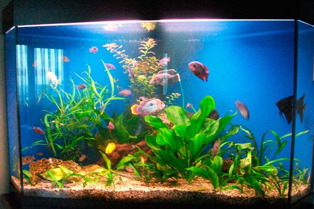 Бирюзовая акара можно содержать не только в моновидовом, эти рыбки отлично совмести с с акарами неонов, тетру, гуппи и моллинезию, а также других слишком мелких рыбок