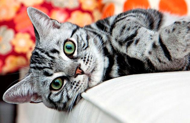 У американской короткошёрстной кошки достаточно крепкое здоровье, главное своевременно посещать ветеринара и делать необходимые прививки
