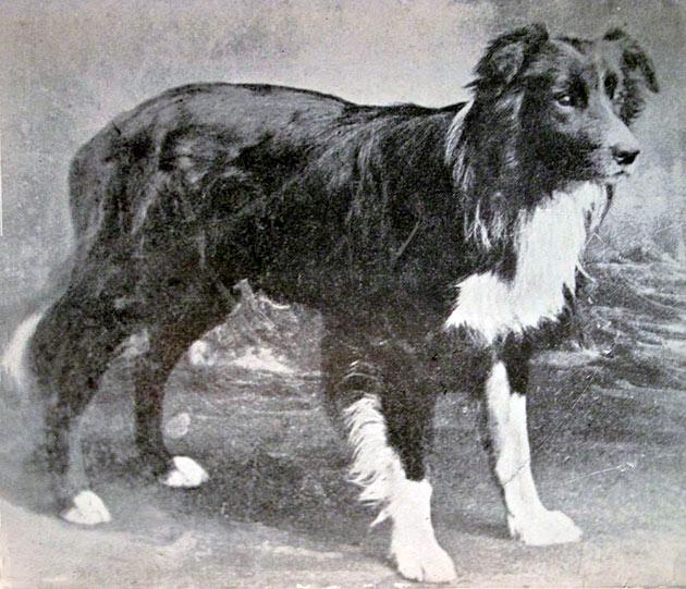 Породы собак: Бордер-колли