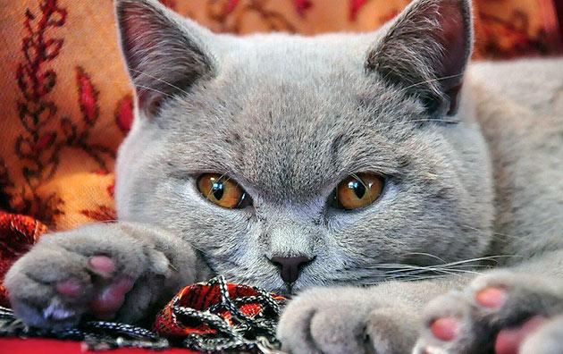 Породы кошек: Британская кошка