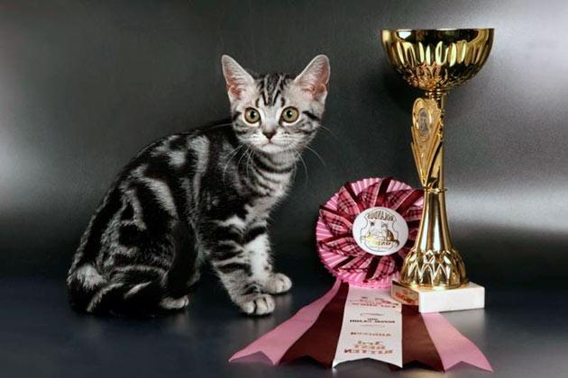 Стоимость американской короткошёрстной кошки зависит от родословной и состояния животного