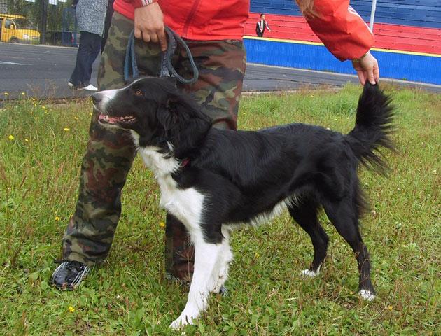 Бордер-колли очень энергичные, веселые и позитивные собаки, они каждый день будут радовать своего хозяина