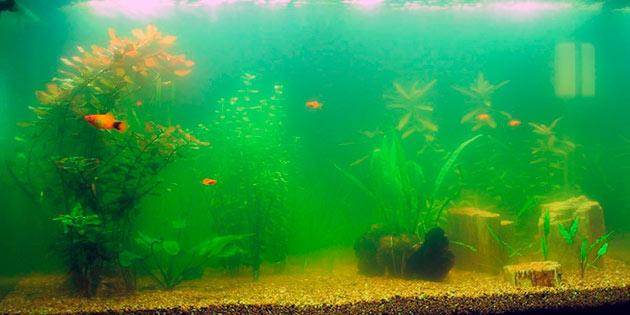 Зеленная вода в аквариуме сигнализирует, что в воде появилась эвглена зеленая