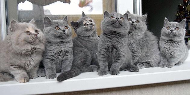 При выборе британской кошки определитесь для каких целей вы приобретаете котенка, от этого будет зависеть цена