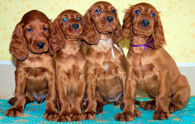 Если вы новичок в собаководстве - выбирайте девочку щенка, она послушнее мальчиков и обладает более покладистым характером