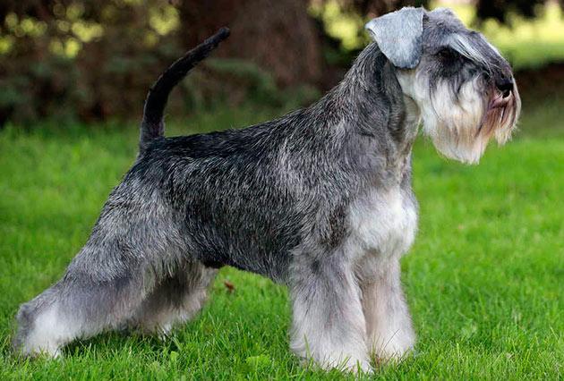 Породы собак: Цвергшнауцер