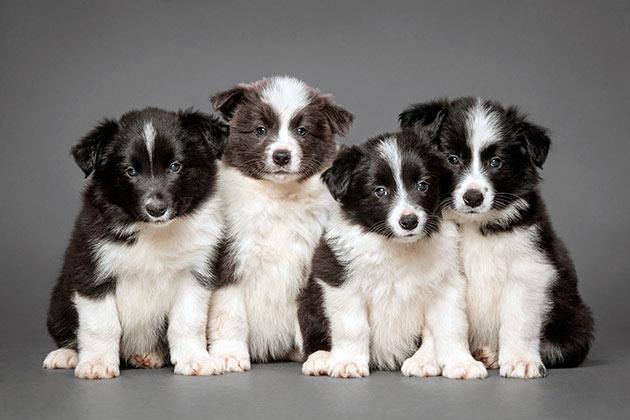 При покупке бордер-колли требуется определится для чего вы покупаете собаку - выставки или собаки-компаньона