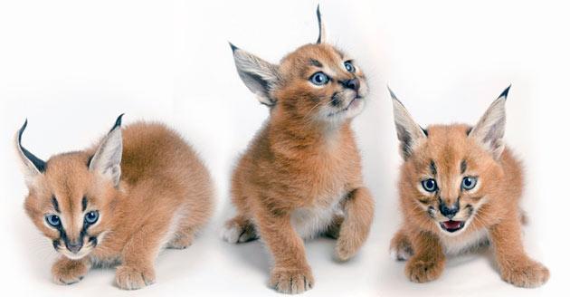 Покупка каркалы - удовольствие не из дешевых, стоимость котят степной рыси может доходить до полумиллиона
