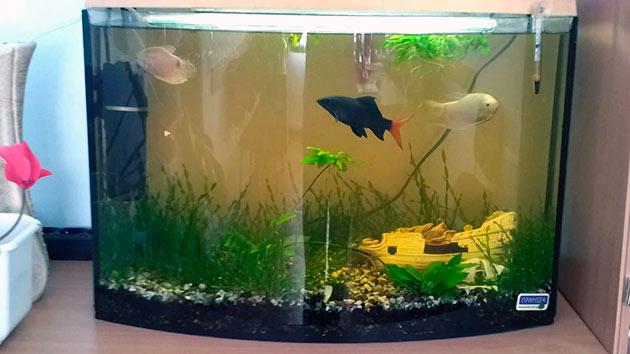 Для содержания двухцветных лабео оптимальнее всего подойдут аквариумы на 150-200 литров