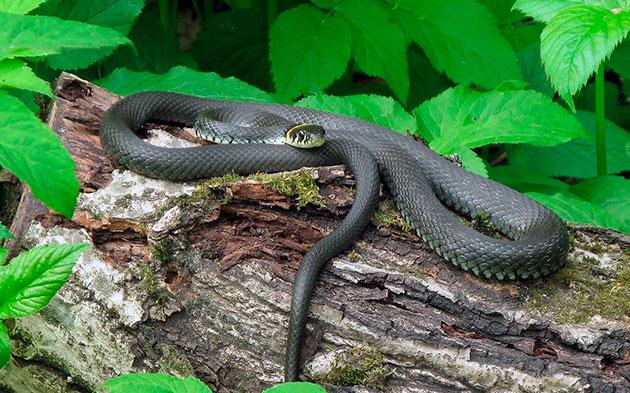 ареал обитания ужа обыкновенного обширен, а змея живет практически на любом ландшафте