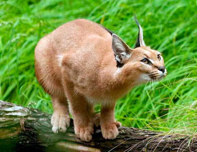 Каркалы вполне сносно уживаются с животными из семейства кошачьи