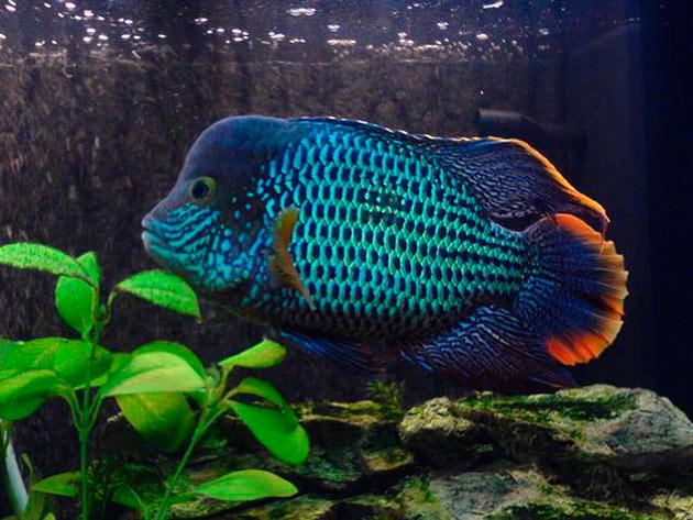 Бирюзовая акара является очень красивой рыбкой и будет радовать своего владельца каждый день