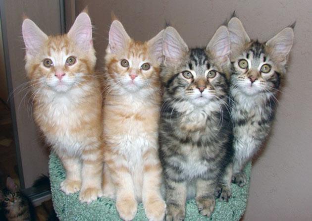 Племенные классы котятам присваиваются не ранее 1.5 месяцев и только после осмотра специалистом