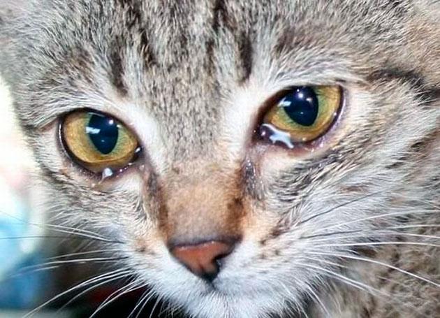 Почему у кошек слезятся глаза
