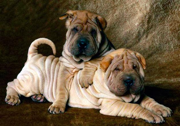 Породы собак: Шарпей