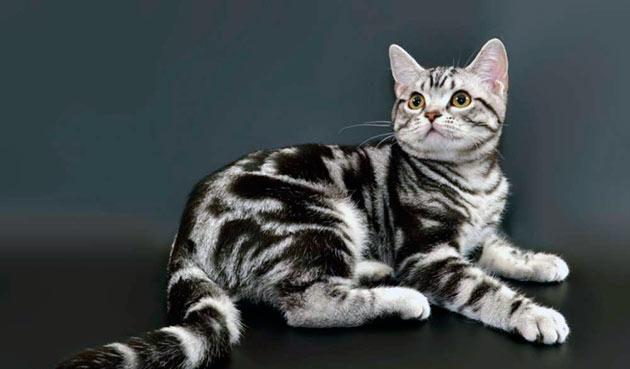 При надлежащем уходе американская короткошёрстная кошка может прожить до 15-18 лет